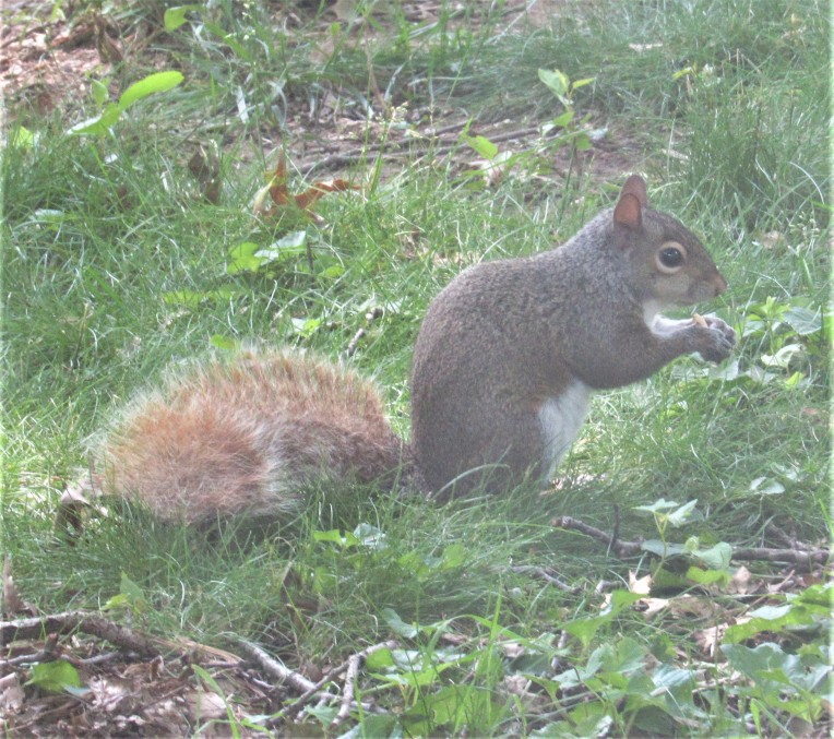 Photo of grey squirrel with ginger tail