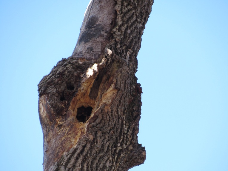 Photo of woodpecker hole in dead ash tree