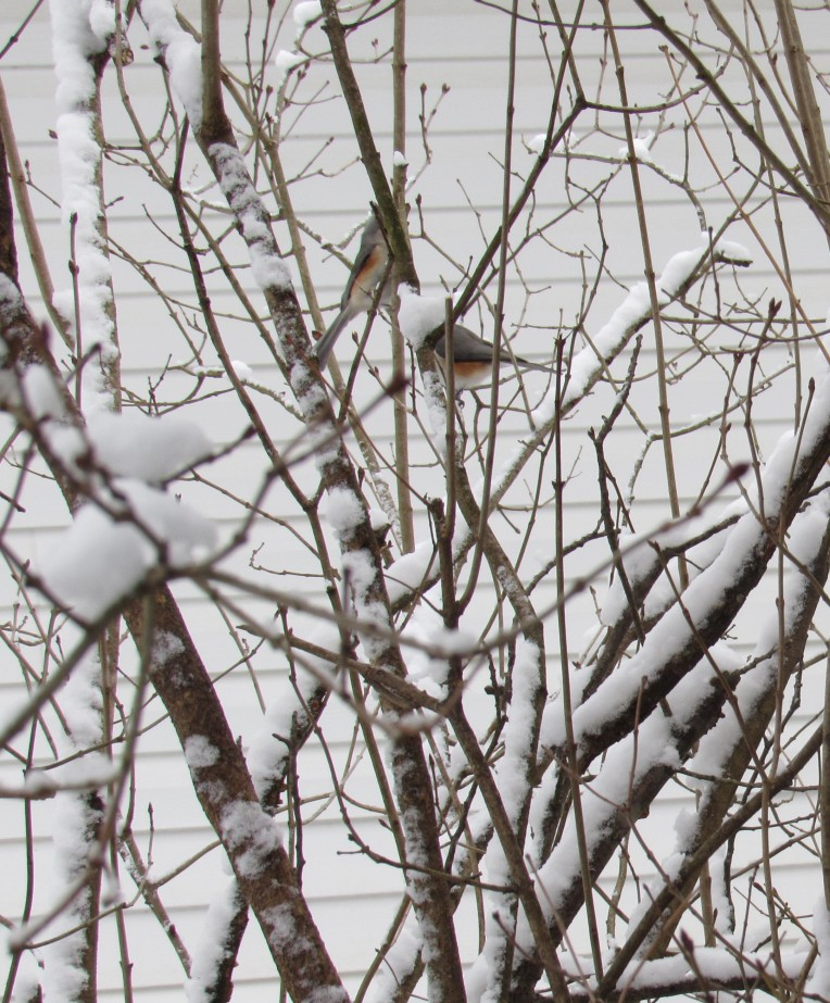 Photo of Tufted Titmice on snowy branches