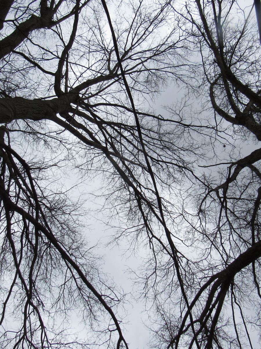 Photo of crowns of two oaks