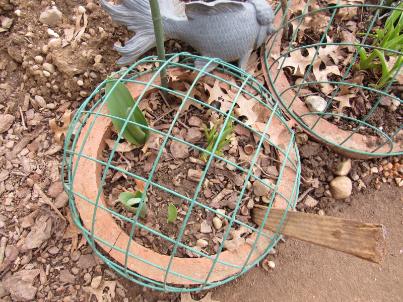 Photo of tulips caged to protect from deer