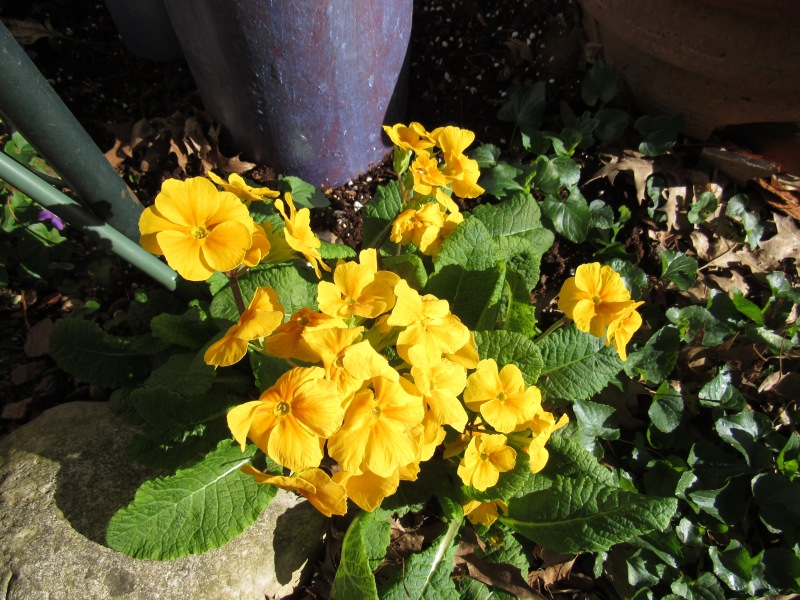 Photo of yellow primrose