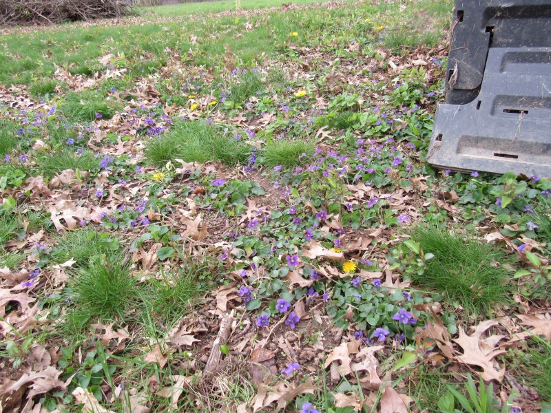 Photo of violets in yard