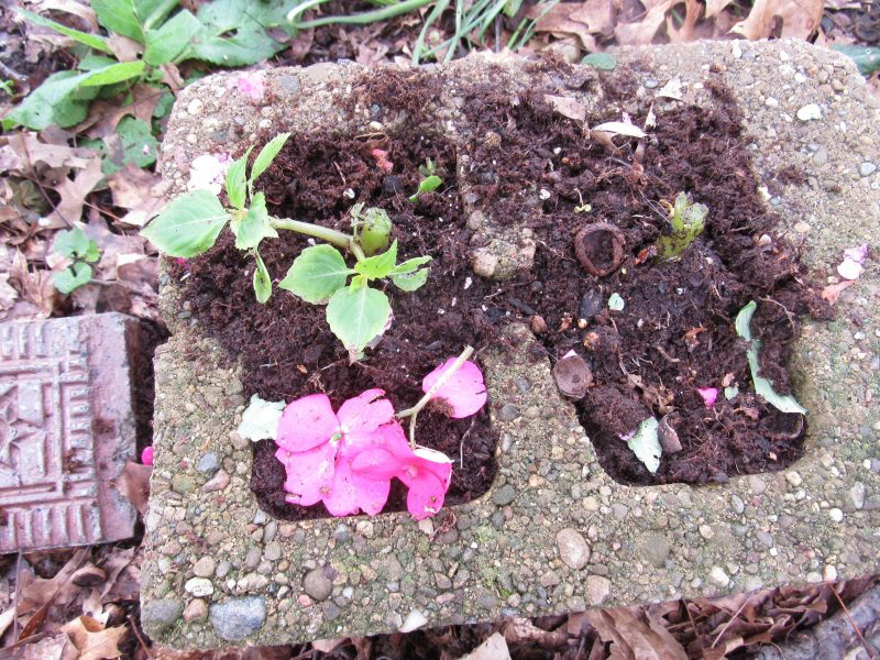 Photo of impatiens eaten by deer