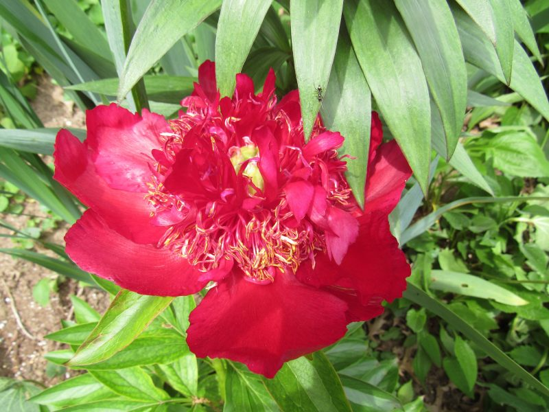 Photo of red peony
