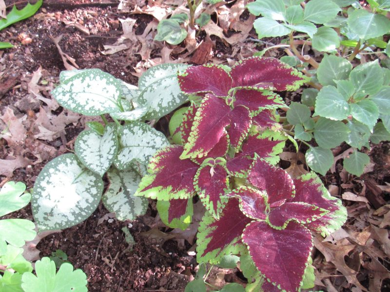 Photo of pulmonaria and coleus in garden