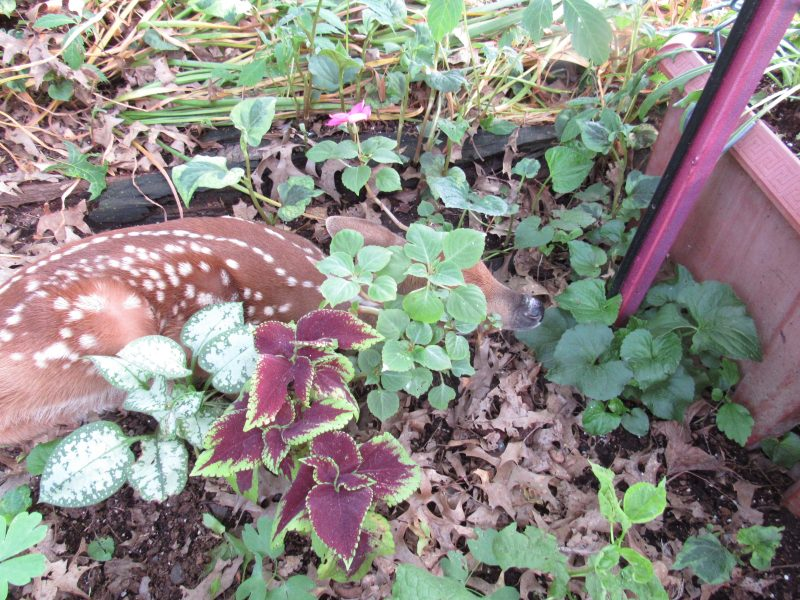 Photo of baby deer in garden