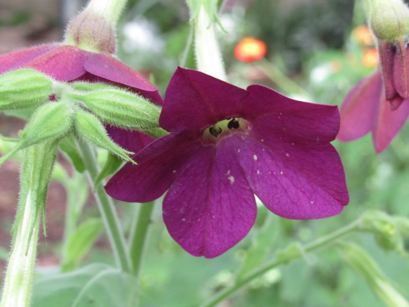 Photo close-up of nicotiana flower