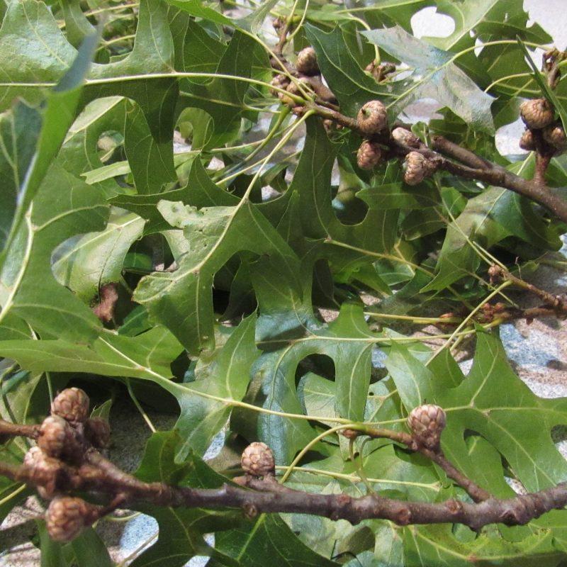 Photo of tiny acorns