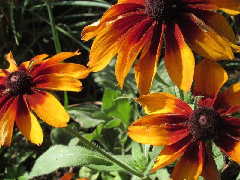 Photo of black-eyed susans