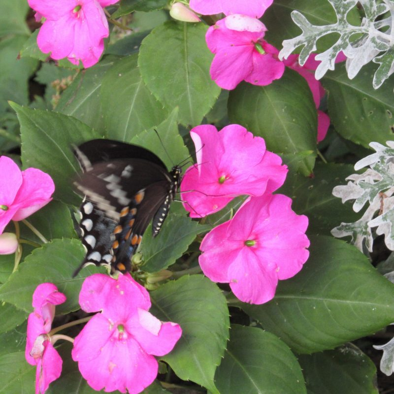 Photo of Spicebush Swallowtail in motion
