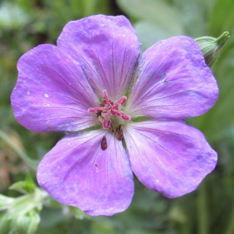 Photo of blue geranium flower