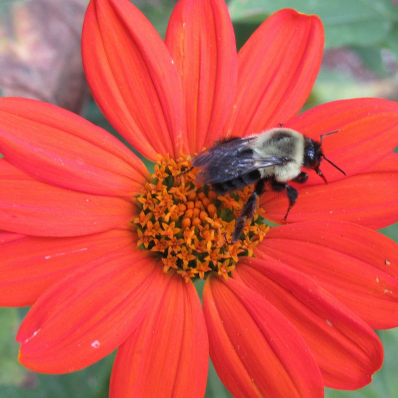 Photo of bumblebee on tithonia flower