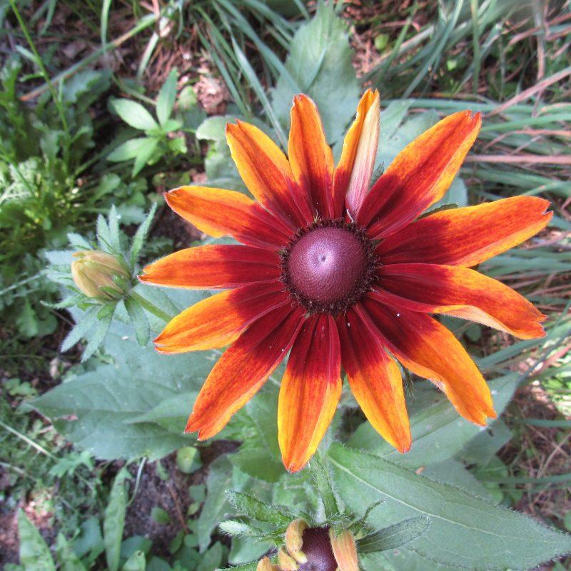 Photo of rudbeckia flower