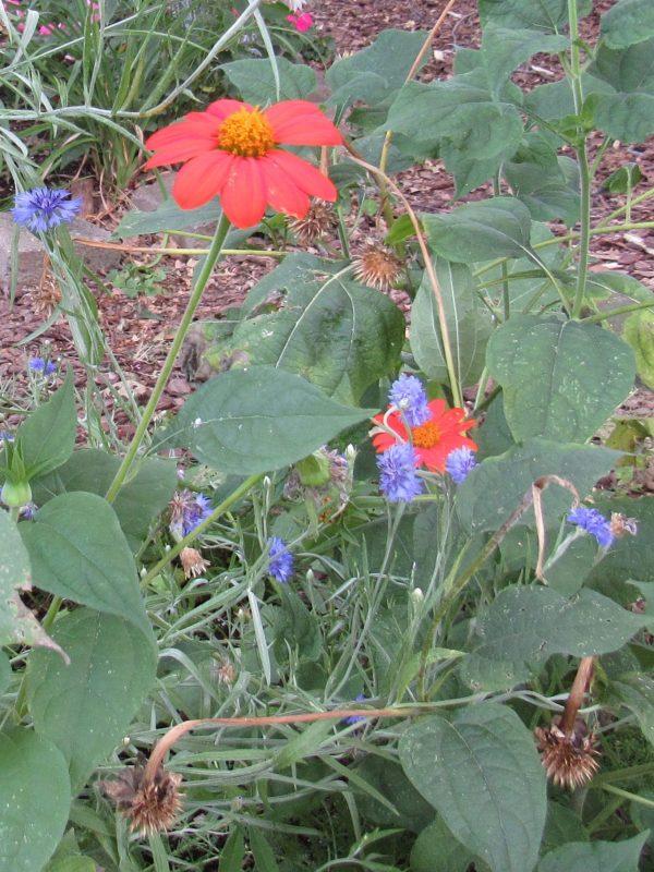 Photo of tithonia and blue centaurea