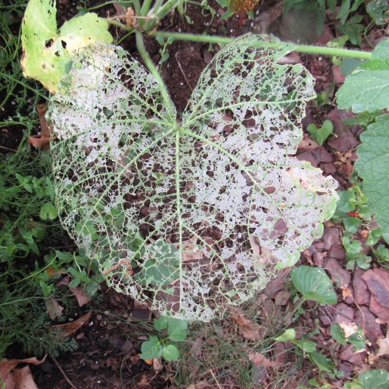 Photo of skeletonized hollyhock leaf