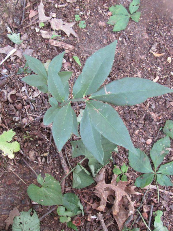 Photo of laurel bush
