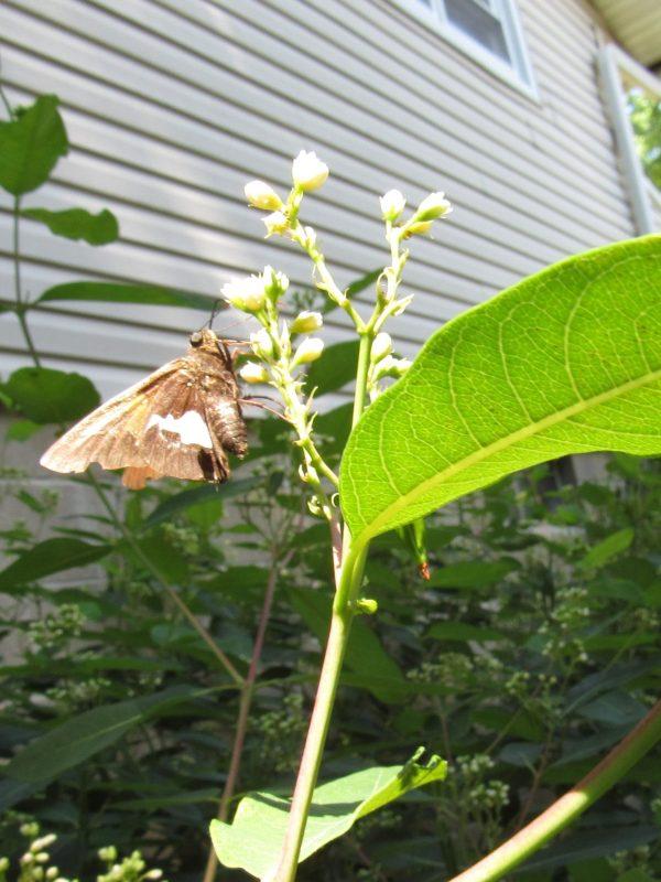 Photo of butterfly on milkweed