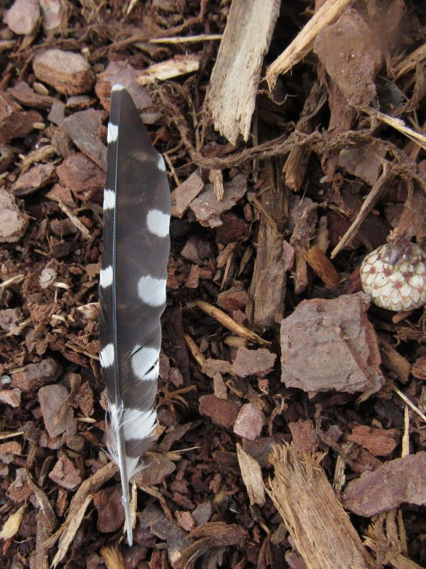Photo of spotted bird feather