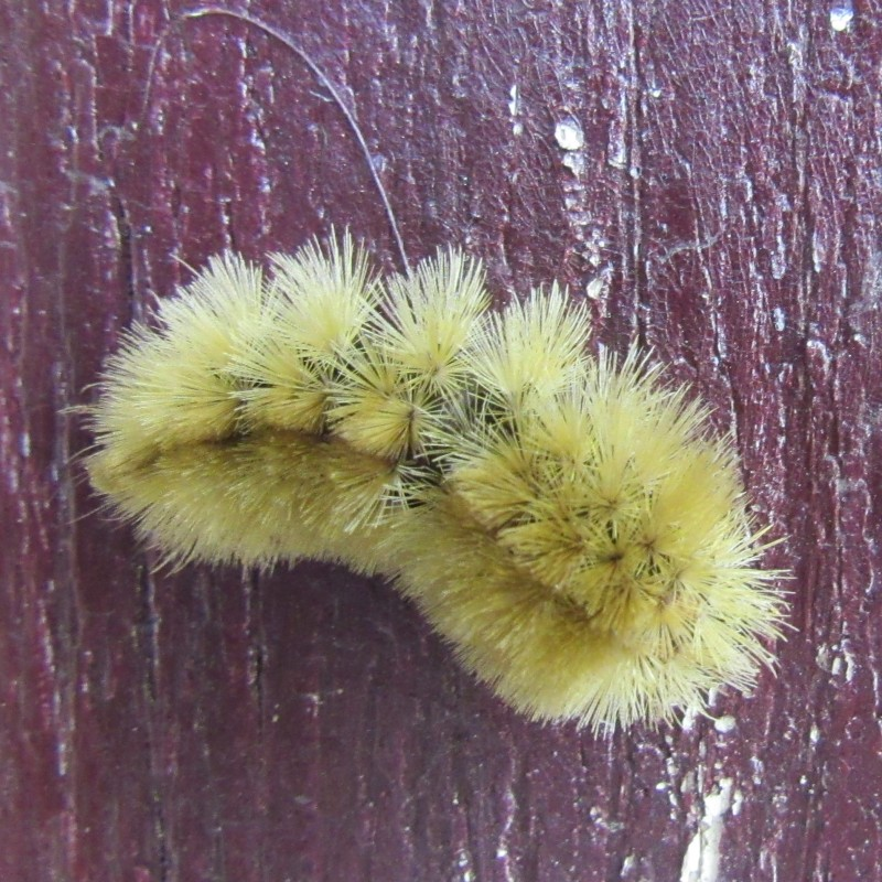 Photo of yellow haired caterpillar