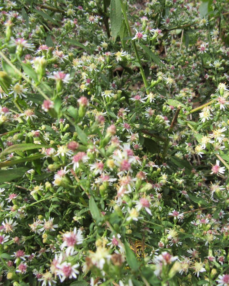 Photo of wild asters with wasp