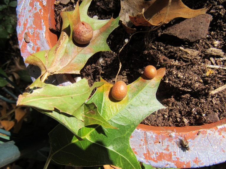 Photo of oak galls and fly