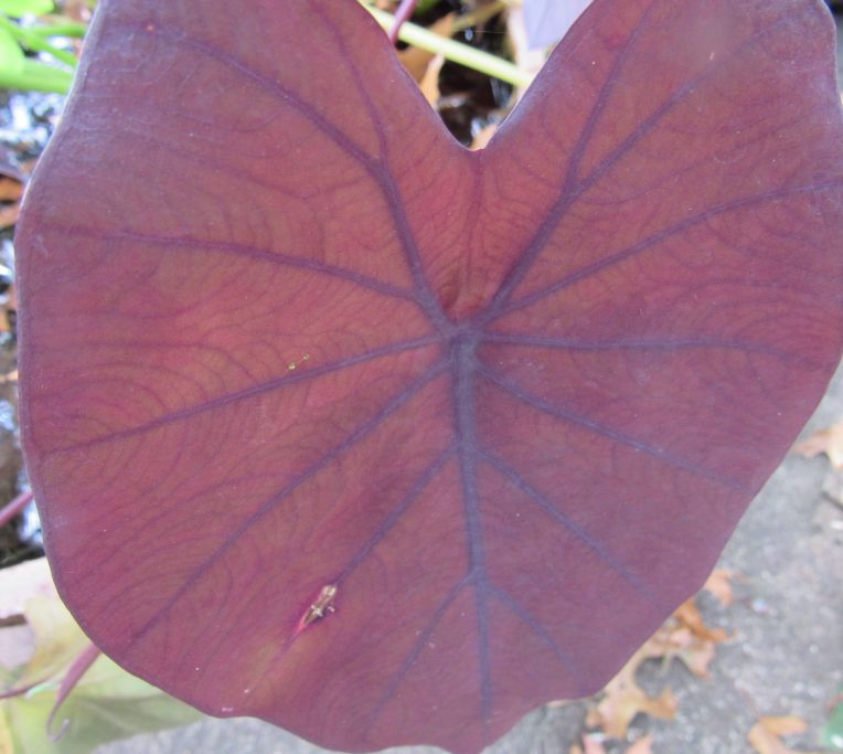 Photo of burgundy elephant ear with purple veins
