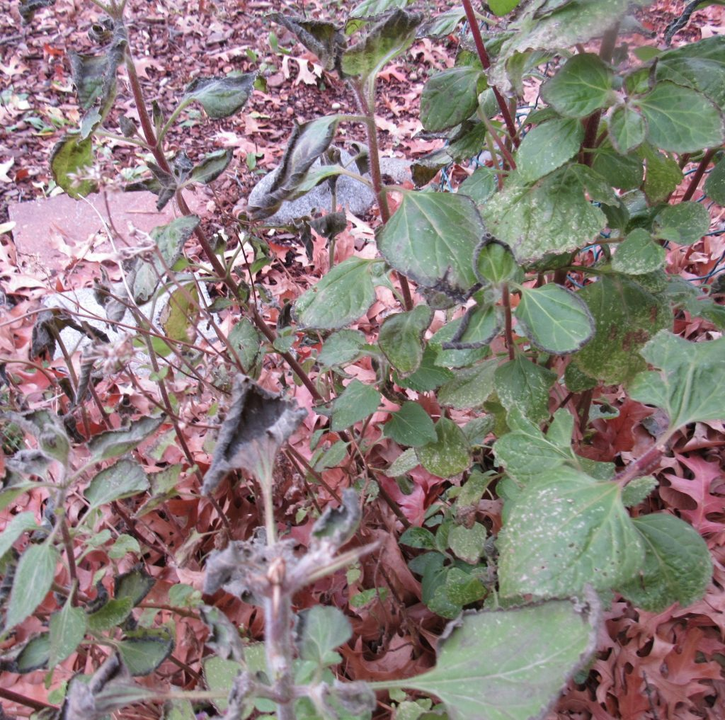 Photo of ageratum in half shelter
