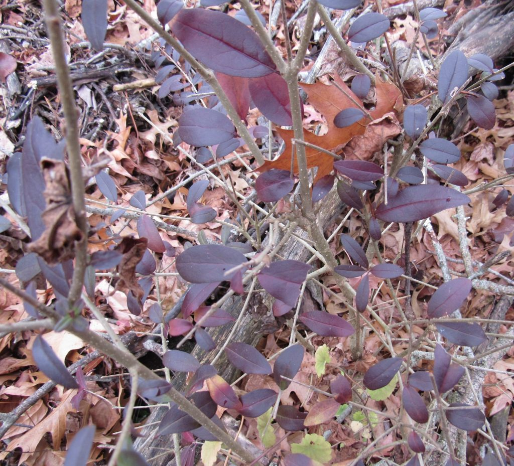 Photo of burgundy fall privet leaves