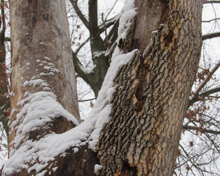 Photo of dead ash with snow