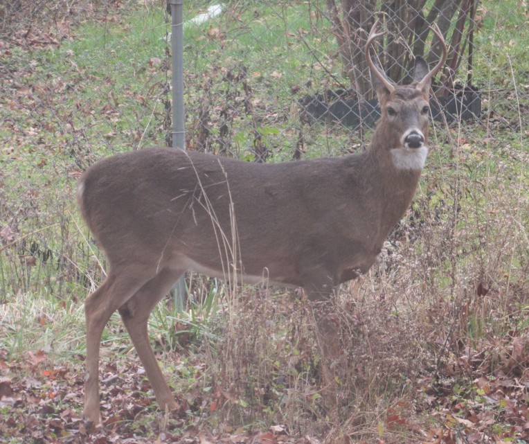 Photo of male deer facing lens