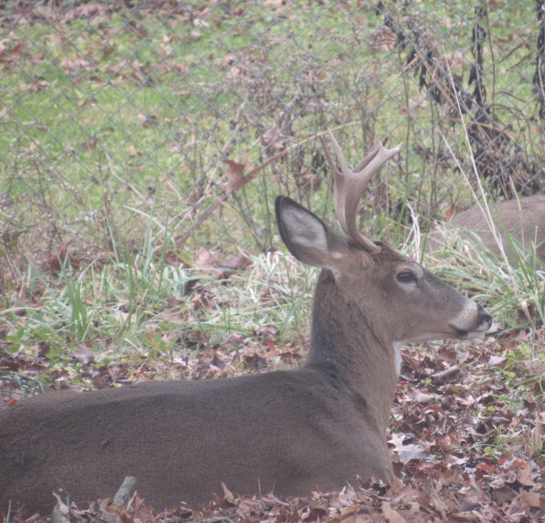 Photo of male deer lying down