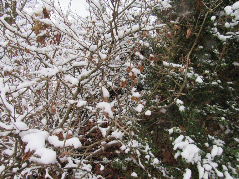 Photo of shrubs with snow on branches