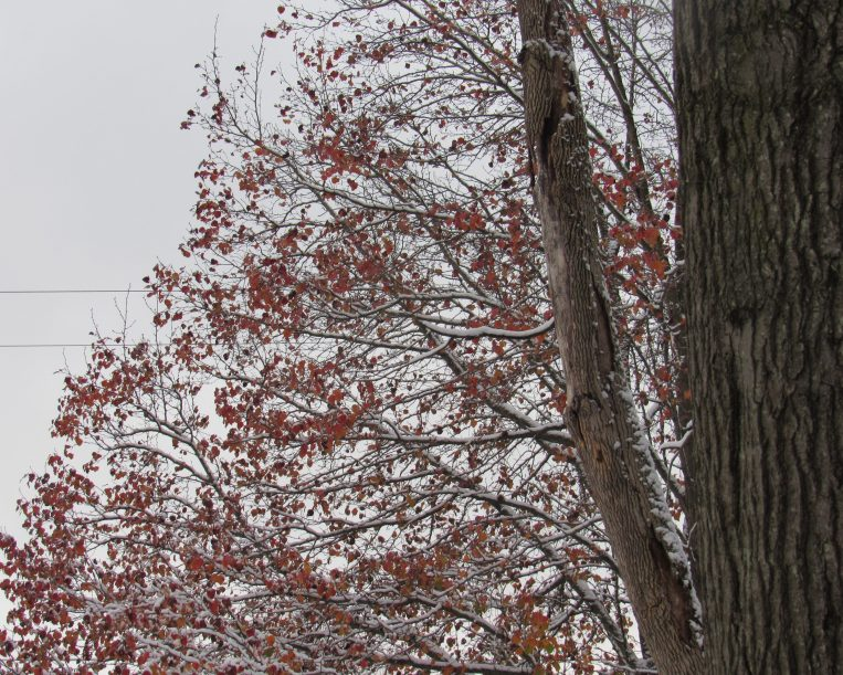 Photo of red pear leaves and dead ash trunk