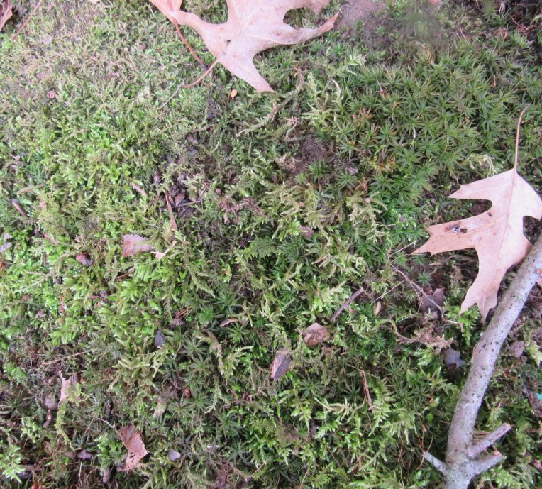 Photo of two types of moss