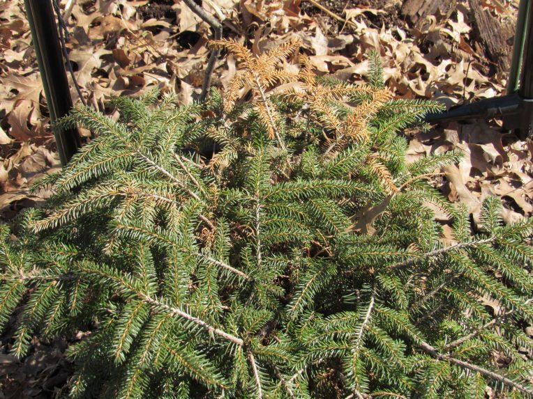 Photo of dwarf spruce