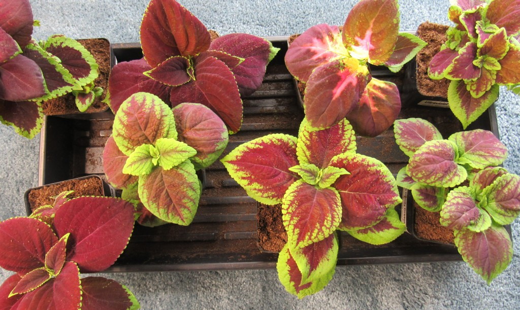Photo of coleus starts for the garden
