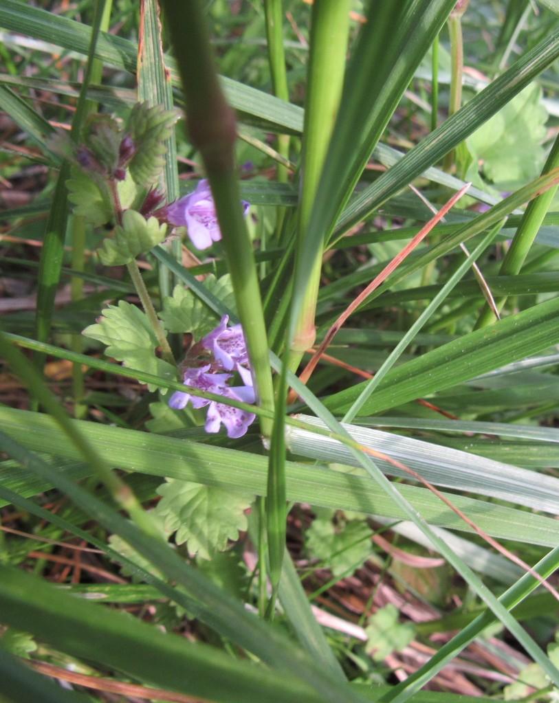 Photo of ground ivy in flower