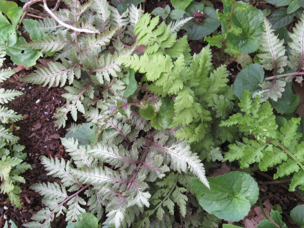 Photo of Japanese painted fern with green sport